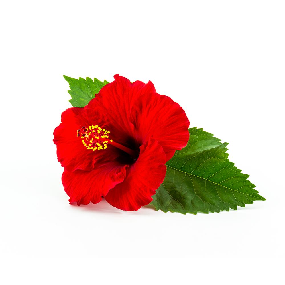 biolys_be_hibiscus
